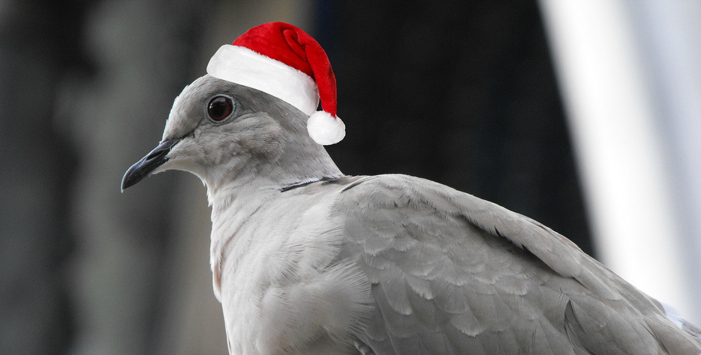 Bird in Santa Hat
