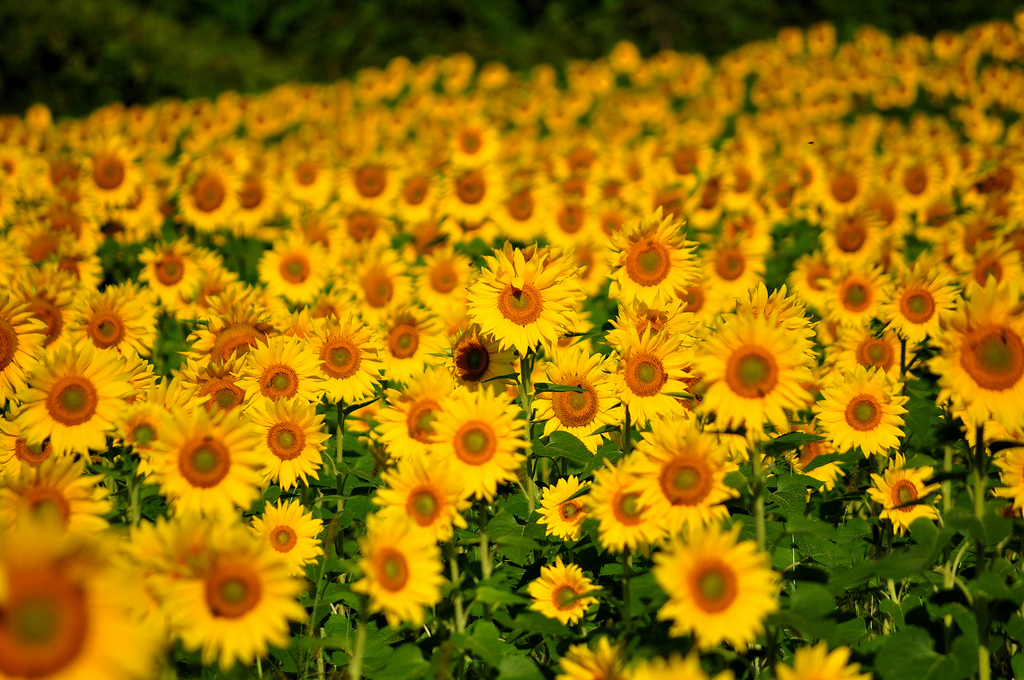 6.Airplane.Sunflowers